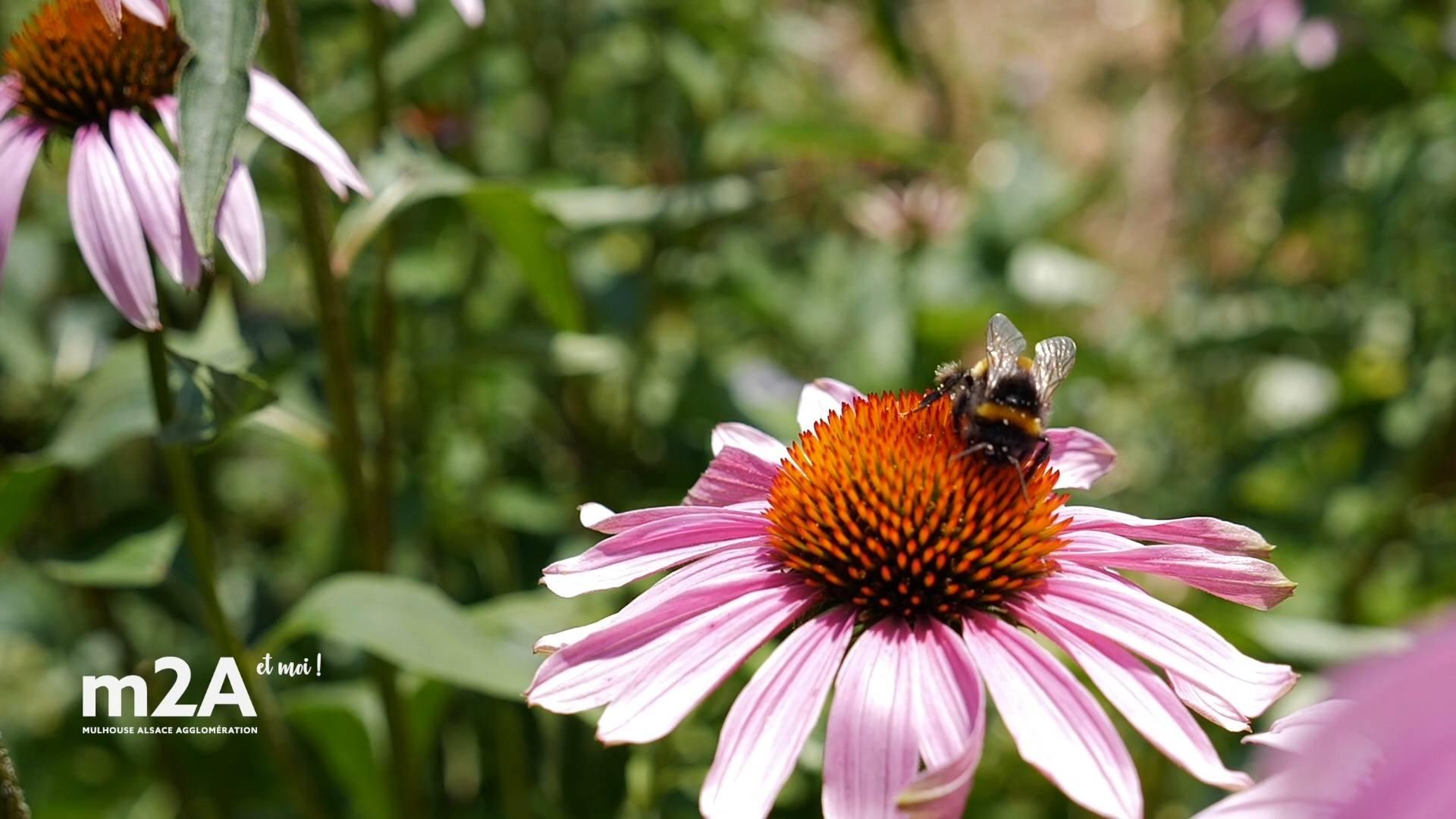 webserie-brunnstatt-didenheim-abeille-fleur
