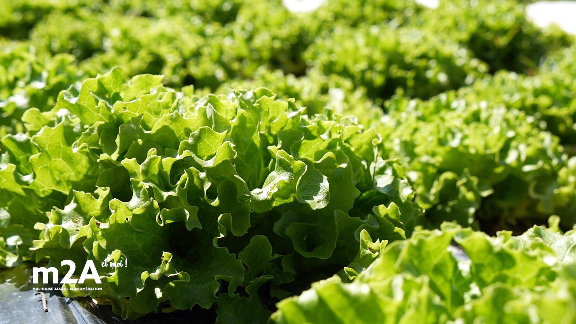 webserie-zimmersheim-salades-bio