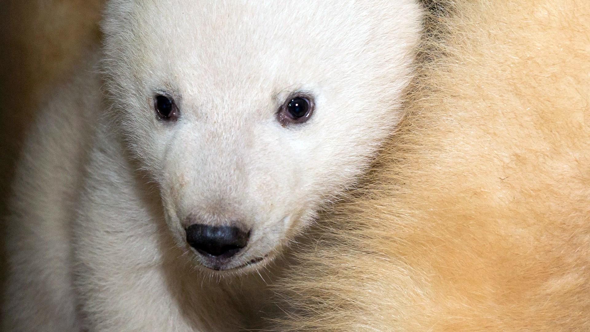 nanuq, ourse polaire née en 2016 au parc zoologique eet botanique de mulhouse