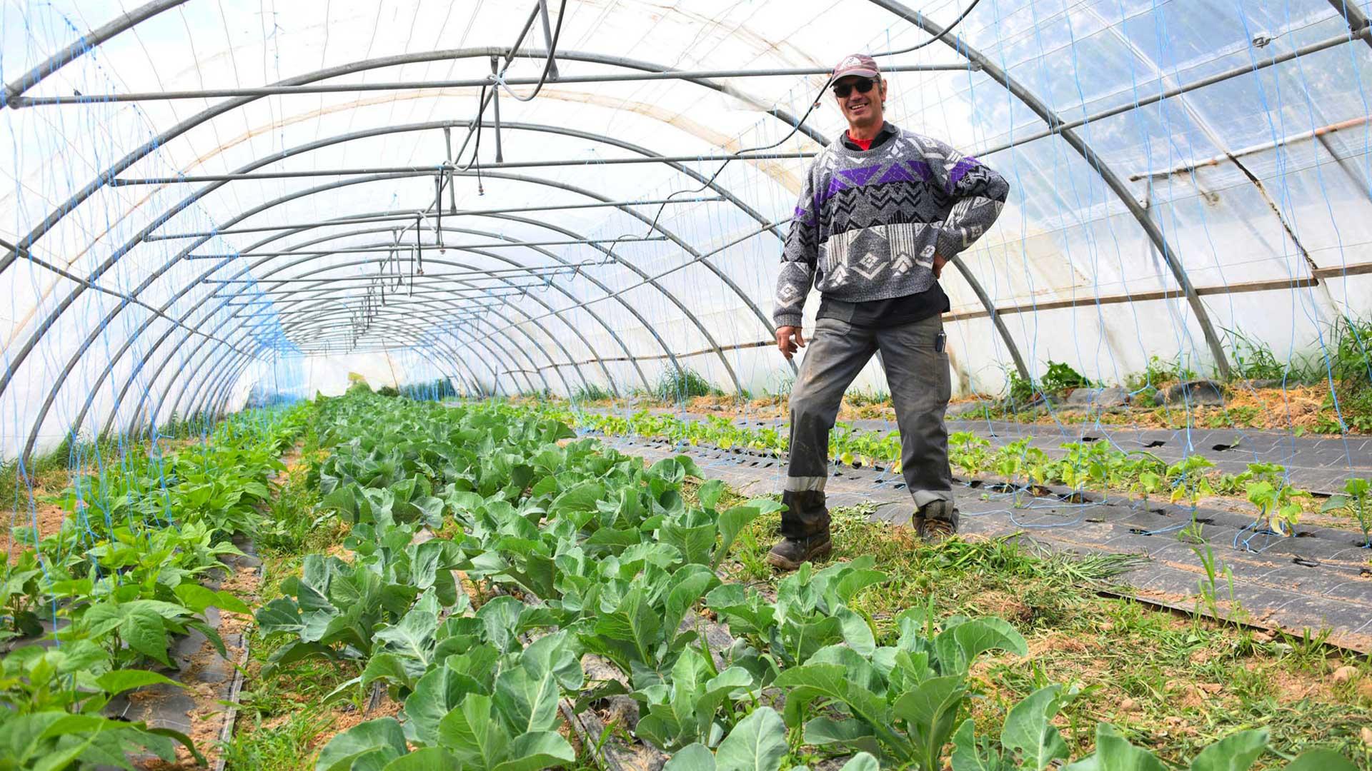 Les serres avec les plants de haricots, de tomates et de concombres