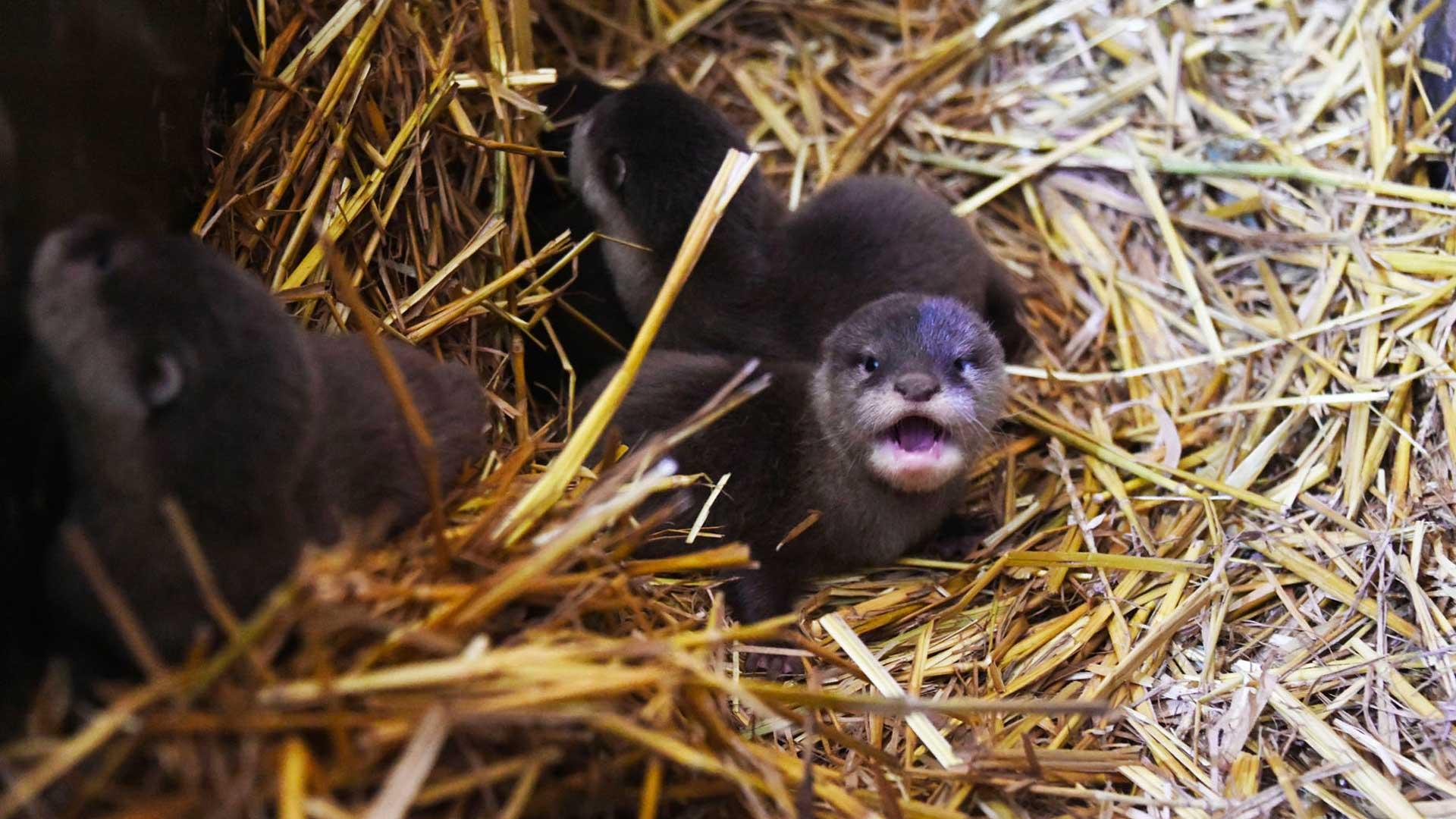 La naissances des 4 loutres naines d'Asie