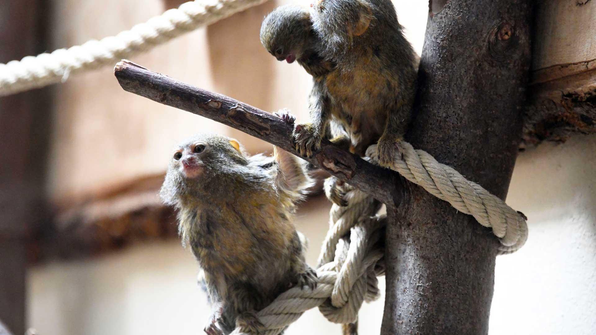 deux bébés « Ouistiti pygmée ».