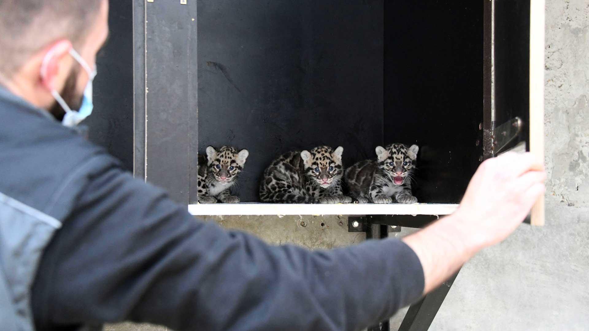 Les trois bébés « Panthère nébuleuse »