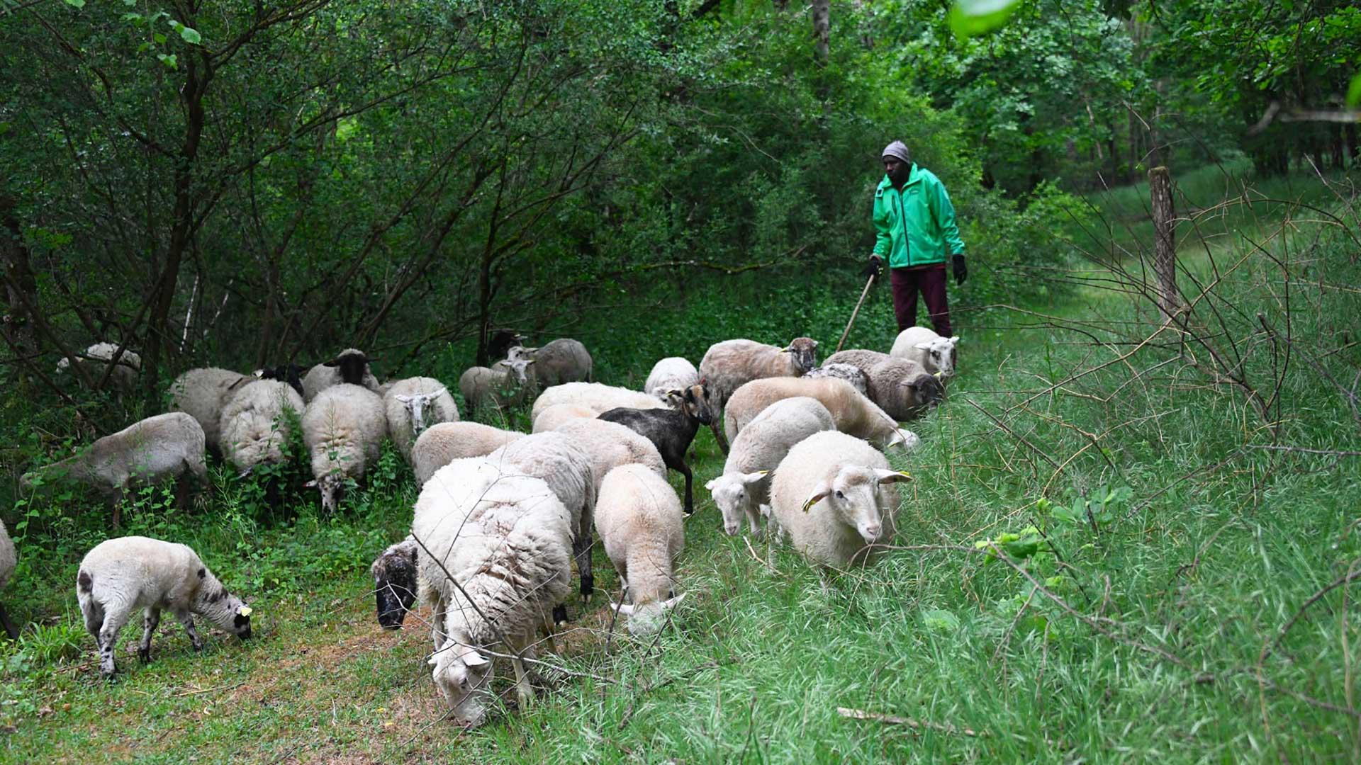 La gestion pastorale perdure avec 50 brebis