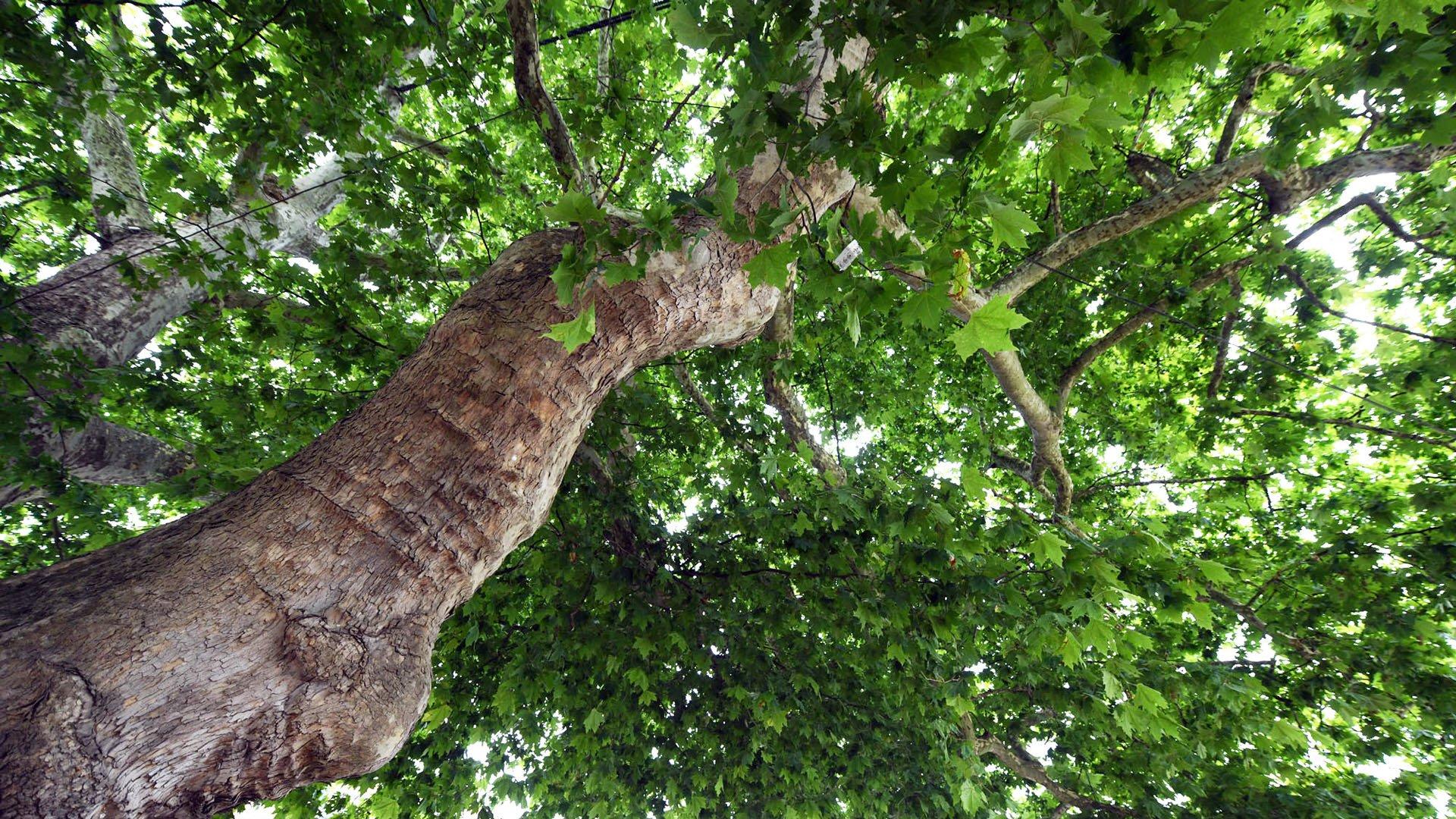L'arbre musée de Lutterbach, un feuillage protecteur
