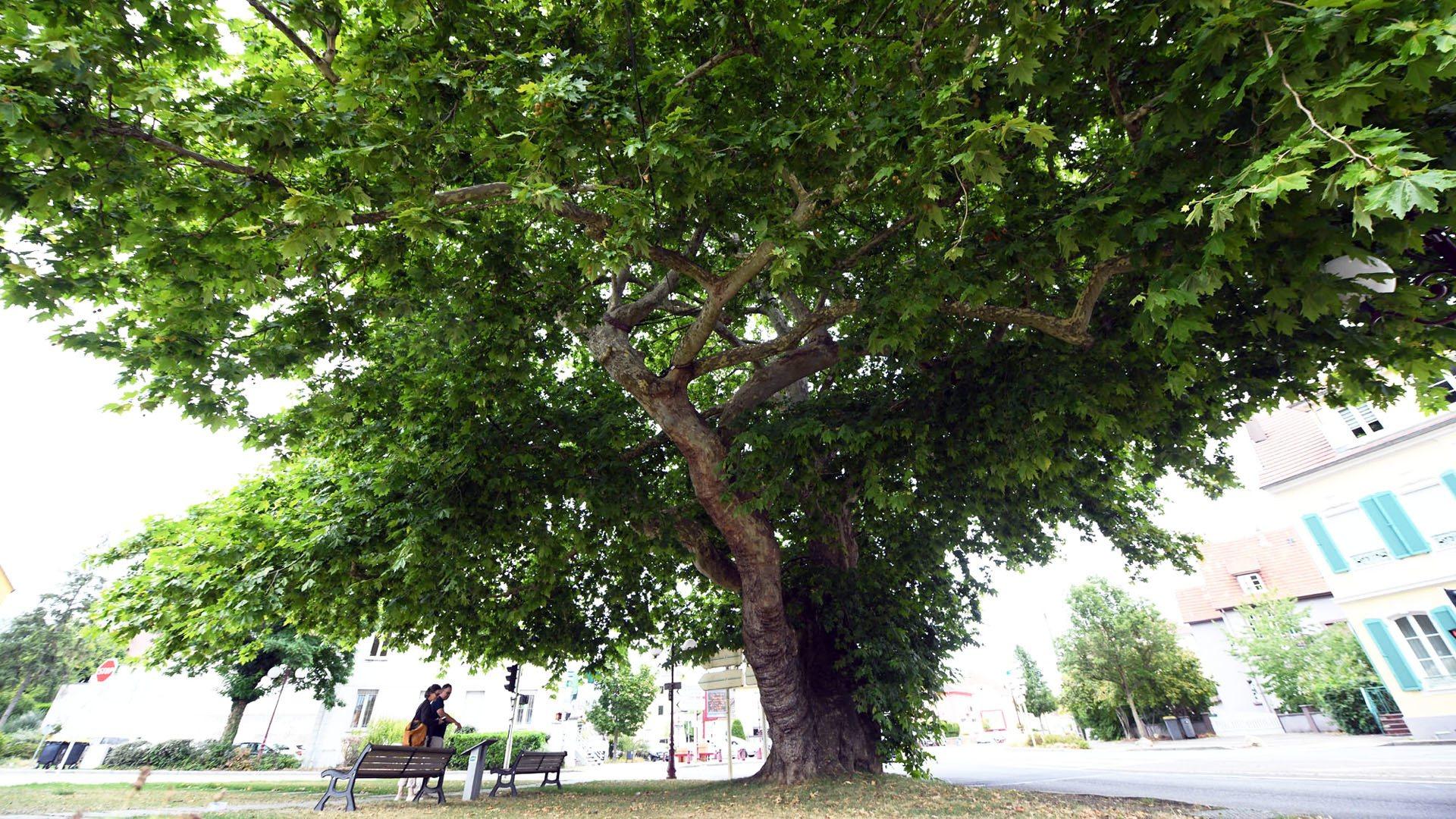L'arbre musée de Lutterbach, une stature imposante