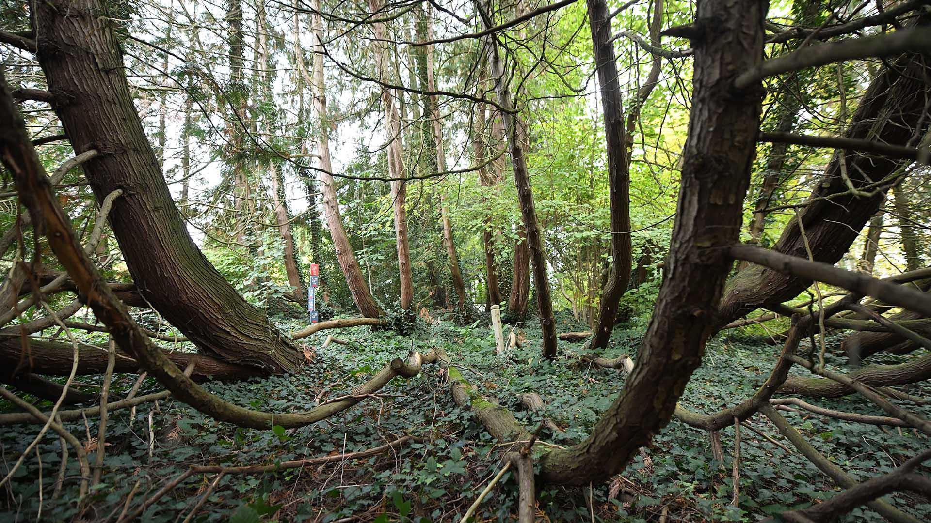 Remarquable ! Le thuya géant d'Amérique : 40 troncs pour un seul arbre