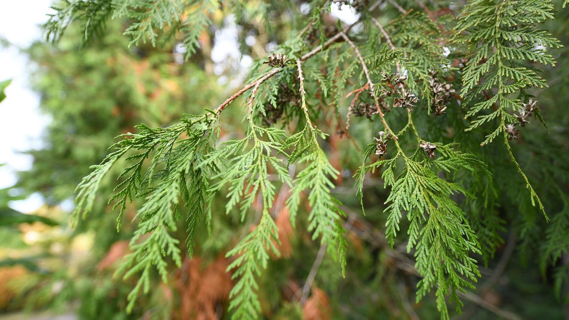 Remarquable ! Le thuya géant d'Amérique : Des rameaux aplatis couverts de feuilles