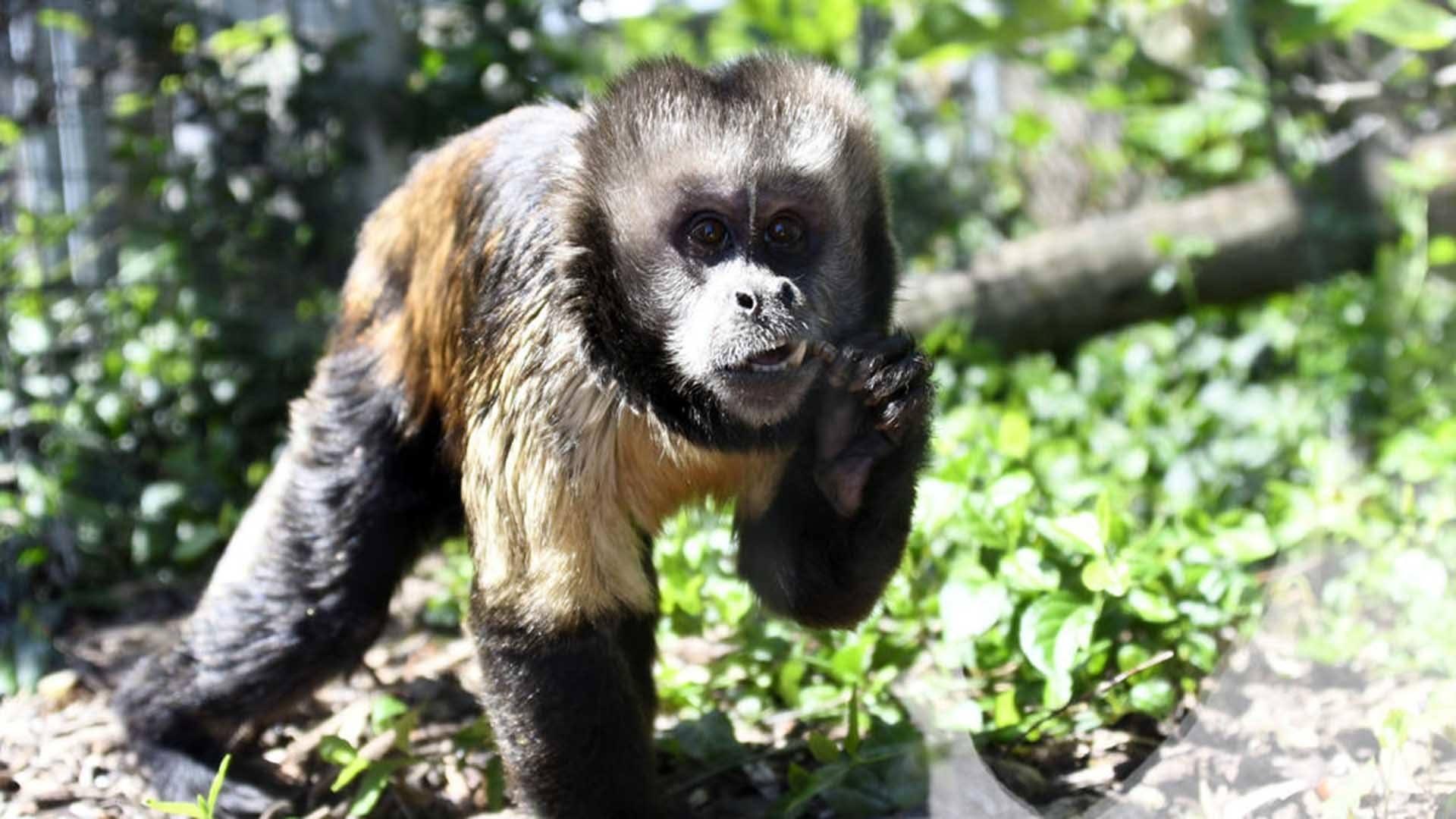 Journée découverte au zoo de Mulhouse : le parc coordonne l'eep du capucin à poitrine jaune en danger critique d'extinction