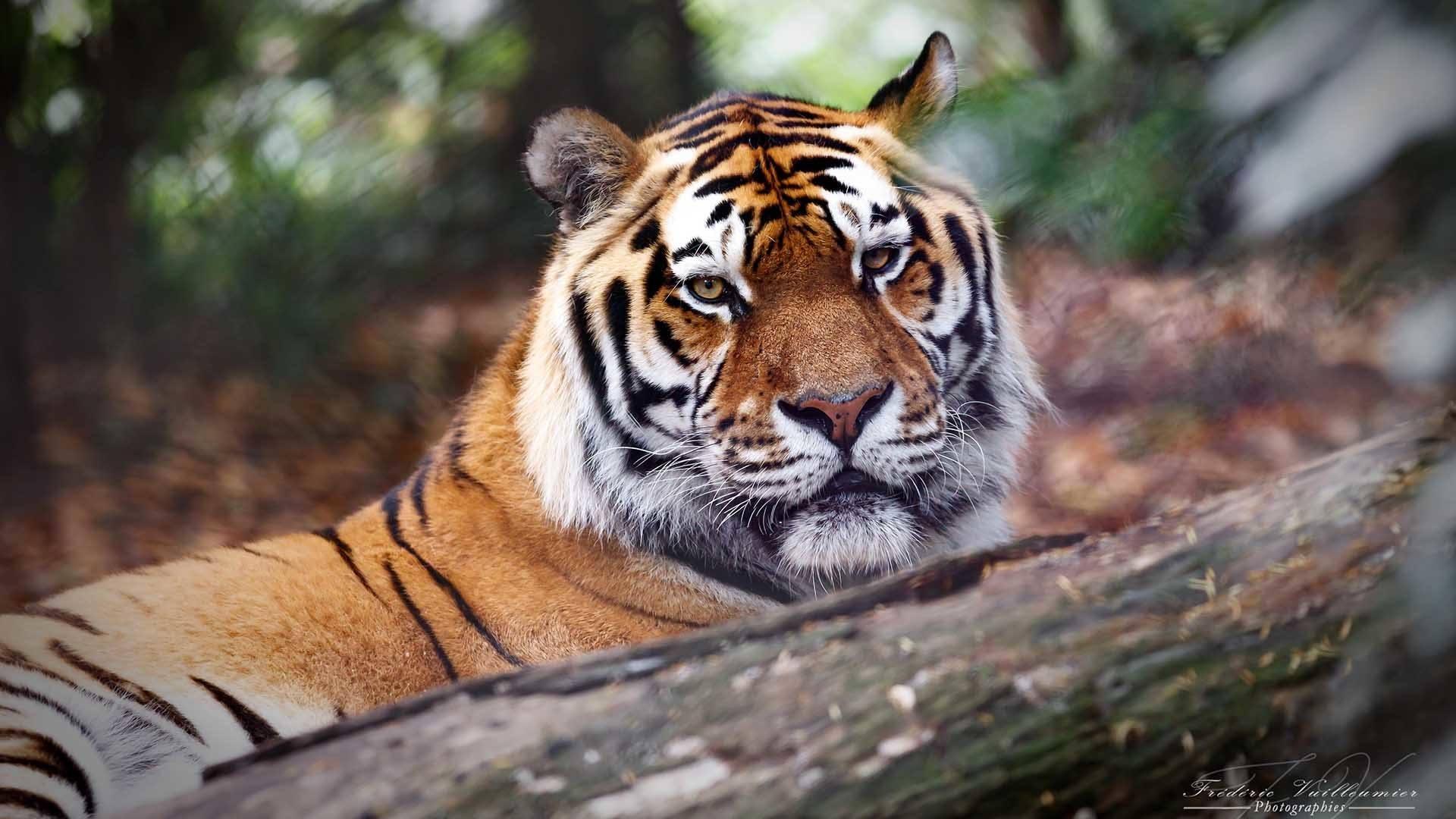 Journée découverte au zoo de Mulhouse : le tigre Baïkal © Frédéric Vuilleumier